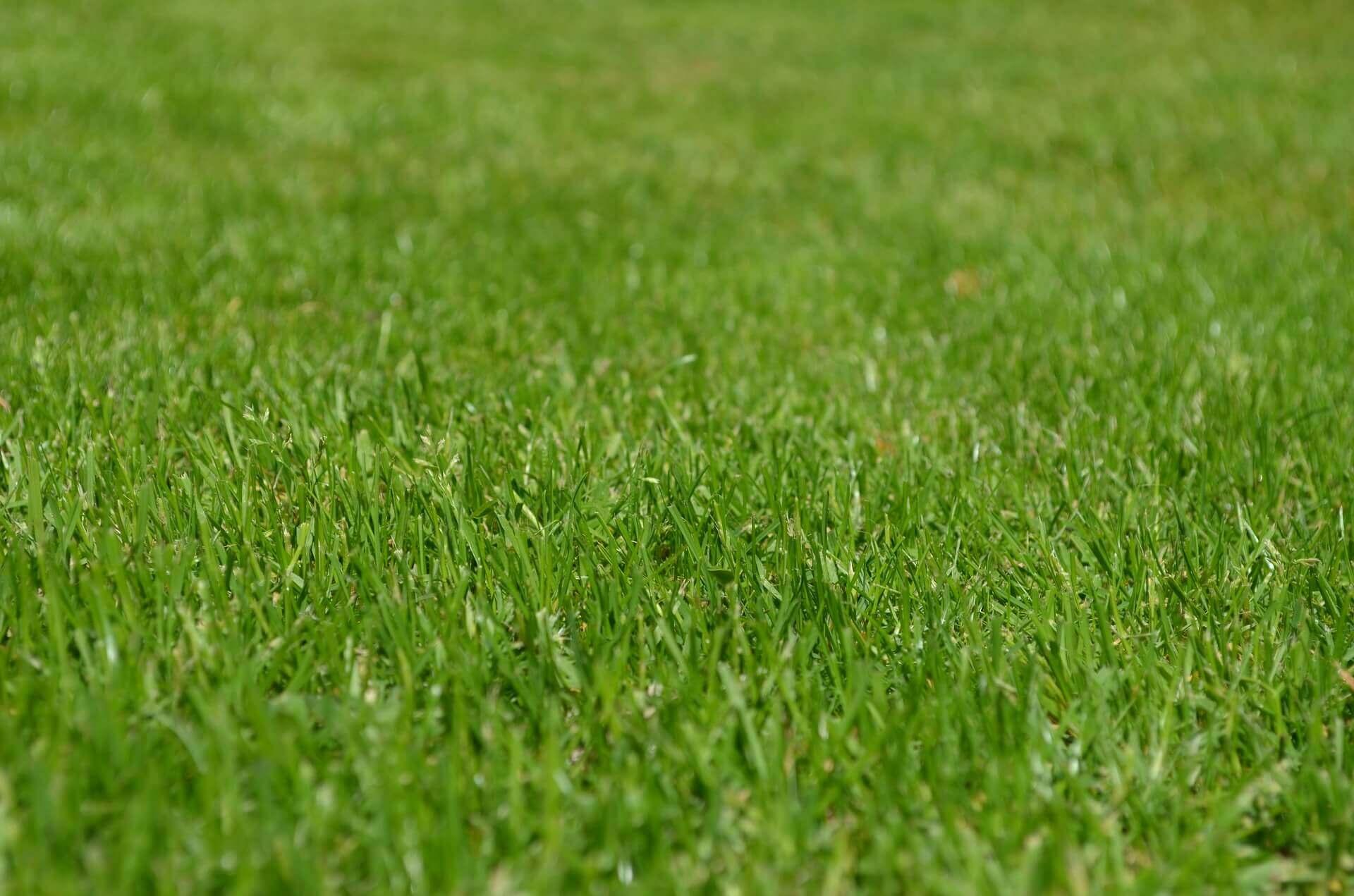 Green turf grass